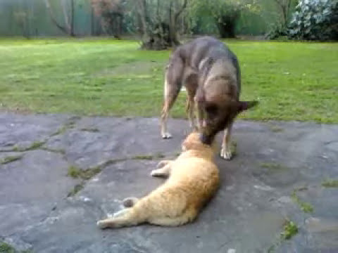 Cute dog sprucing cat up (perro acicalando gato)