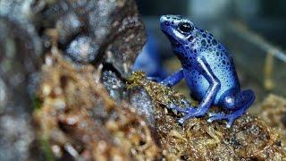 Poison Dart Frog Setup and Care Sheet (Dendrobates Tinctorius Azureus)