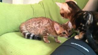 Uniting two Bengal kittens - Nanouk and Sammi