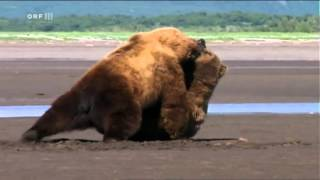 Serious confrontation of male Alaska Brown Bears in 'Grizzly Man' (2005)