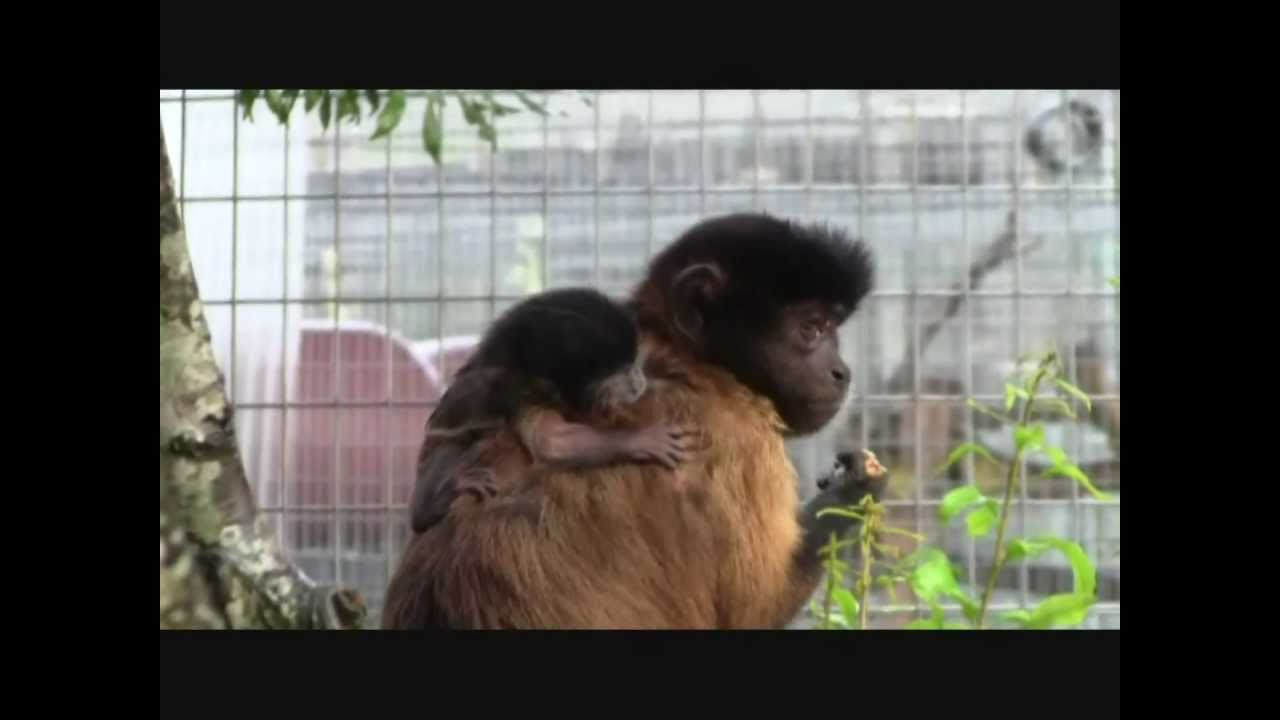 newborn baby monkey