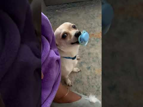 #baby #funniestvideo #funny #youtuber #funnyanimals Dog Steals Baby Pacifier