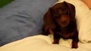 Cute dachshund puppy shows his innocence