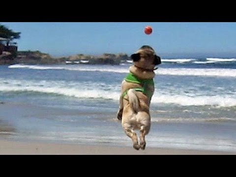 Flying Beach Pugs
