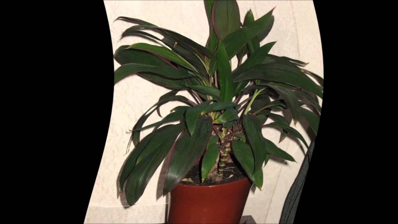 Кордилина размножение в домашних условиях фото