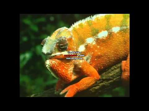 chameleon-body-language-english.html