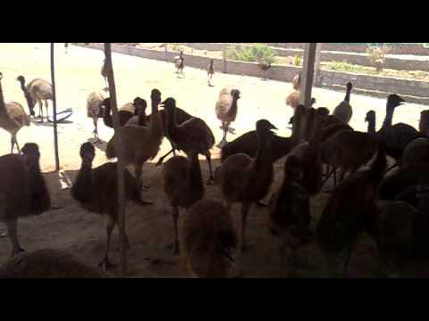 emu farm in gujarat anand