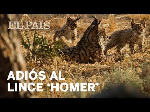 Muere un lince de Doñana en la evacuación por el incendio   España