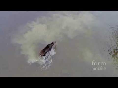 Схватка лося и волка на озере в Канаде.