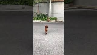Đôla poodle chạy cực hài hước