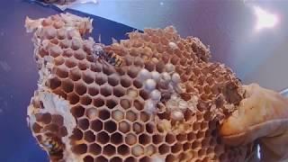 Giant European Hornets ate through Drywall and cam