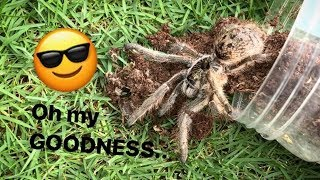 This TARANTULA looks like it WEARS SUNGLASSES 😎 lol !!! [BONUS VIDEO]