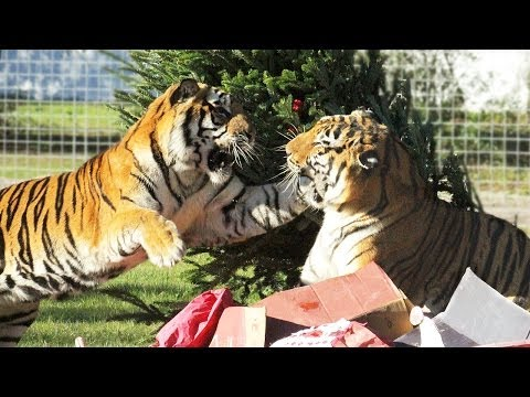 How Tigers Celebrate Christmas!