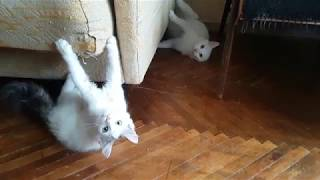 Kitten provokes a cat fight - funny cats video