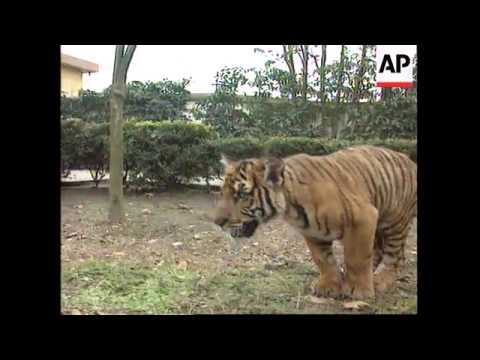 China - Tiger cubs at zoo in Suzhou