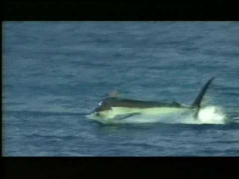 Blue Marlin Fly Fishing Costa Rica