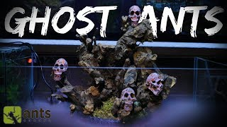 New SKULL ISLAND Ant Farm for Ghost Ants | Halloween Special Pt. 2