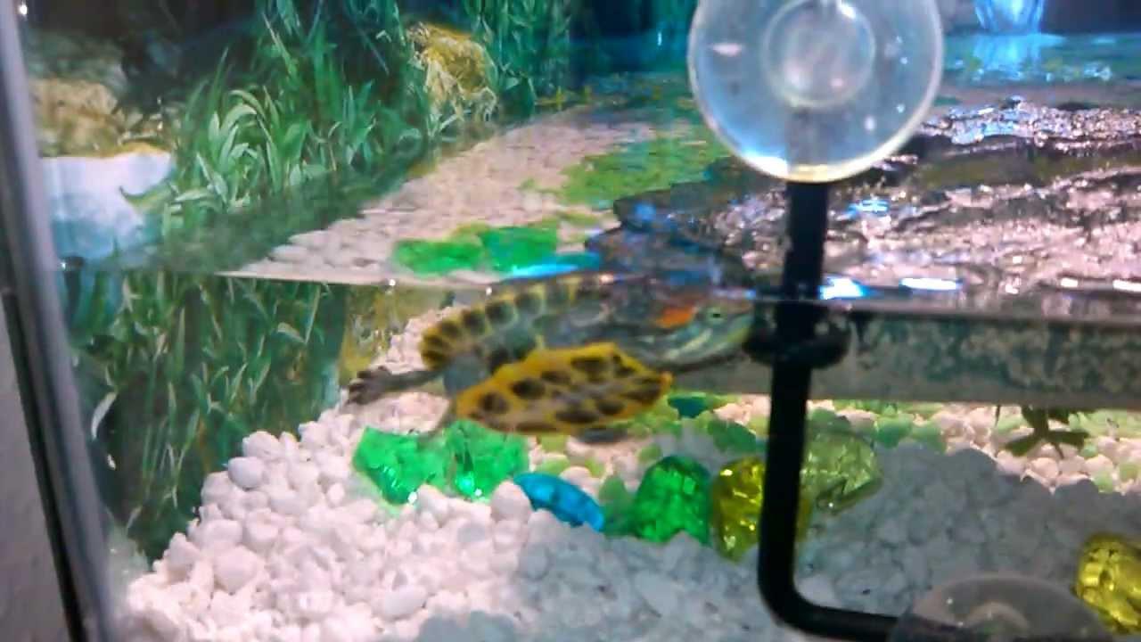 baby red ear slider turtle habitat - YouTube