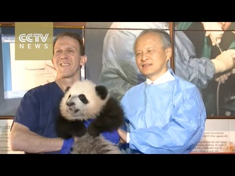 Chinese ambassador visits giant panda cub in Washington D.C