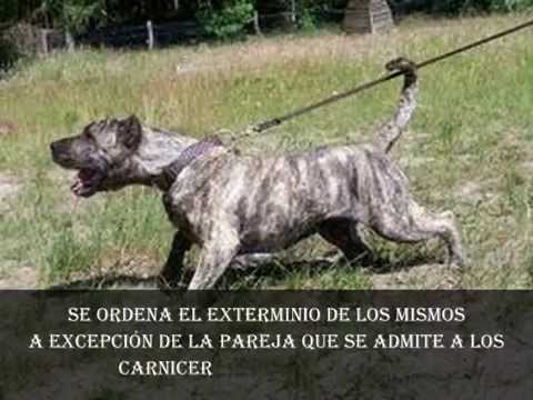 pitbull terrier vs presa canario
