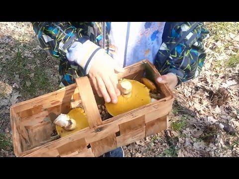 Грибы маслята. Невероятный сбор грибов в начале мая. Дети впервые собирают грибы