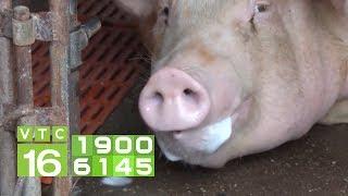 Nhiều thảm họa nếu dịch tả lợn châu Phi không được khống chế | VTC16
