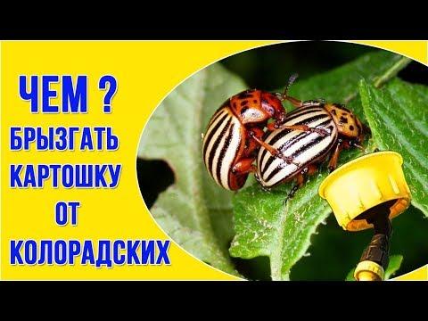 Препараты от колорадского жука – инструкция и ОТЗЫВЫ агронома
