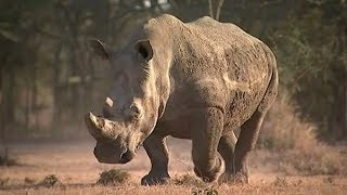 Sudan, the world's last male northern white rhino, dies in Kenya | ITV News
