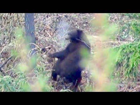 BIG black bear FREAKS out!!! Limitless 29