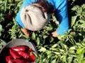 Урожай перца mp3