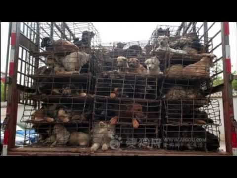 Cruelty and massacre of Chinese DOGS - Nobody touch the DOG