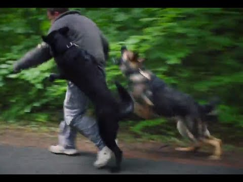 Personal Protection Dogs Working as One (German Shepherds + Belgian Malinois)