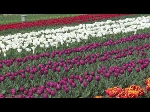 Srinagar - Tulip garden - 4