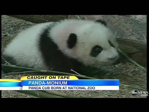 Giant Panda Cub's Birth Celebrated at National Zoo