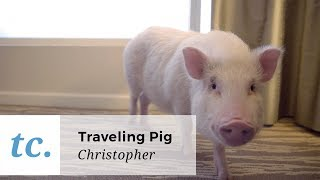 This Insta-Famous Pig Works Hard For The Likes