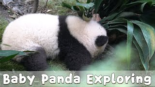 Po's Baby Explores Surroundings | iPanda