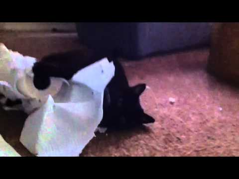 Kitty vs. Paper Towels