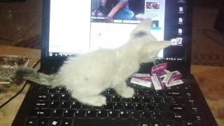 Download Lagu Kucing lucu Gratis STAFABAND