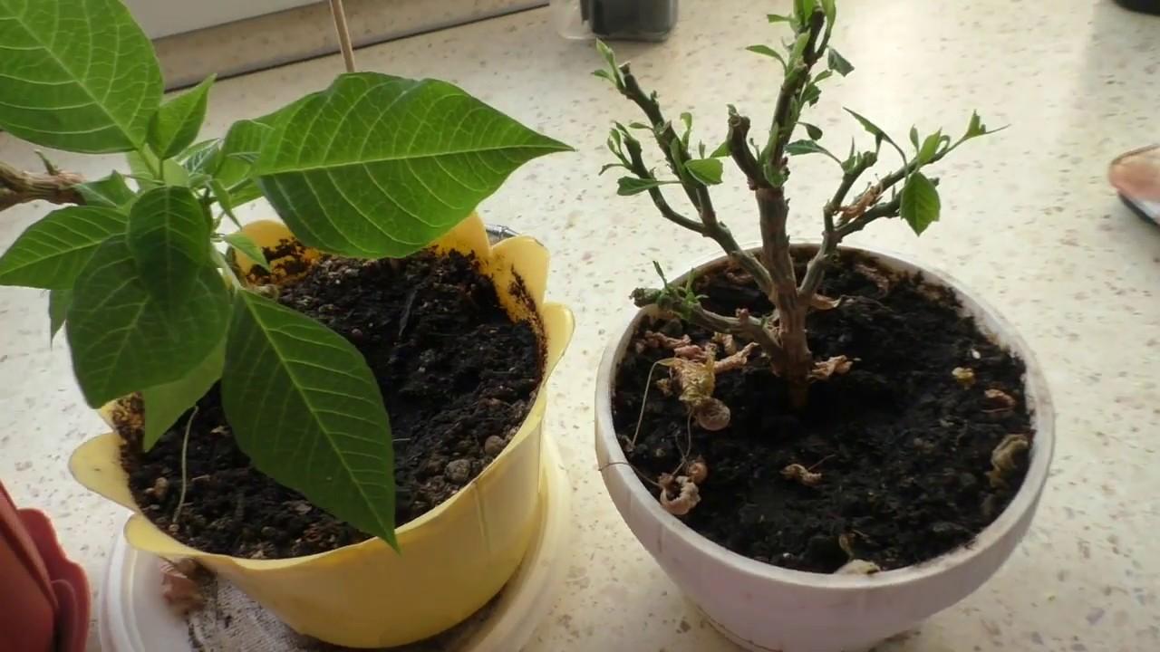 Пуансеттия выращивание из черенка 37