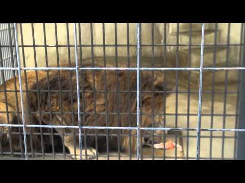 京都市動物園のライオンさん食事[HD]