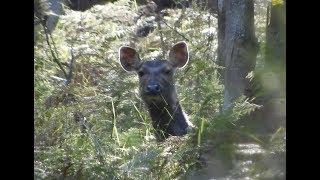 Summer Sambar.. 'There's deer everywhere!!!!!!'
