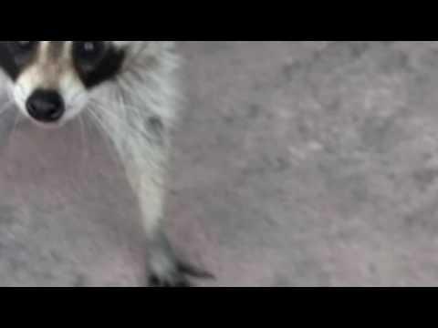 Masked robber..aka sneaky raccoon