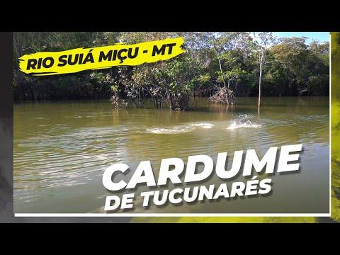 Cardume de Tucunarés explodindo na superfície iscas Poseidon Brasil