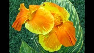 Watch Cannae Black Flowers video
