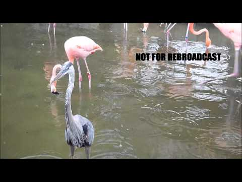 Flamingos fighting really bad