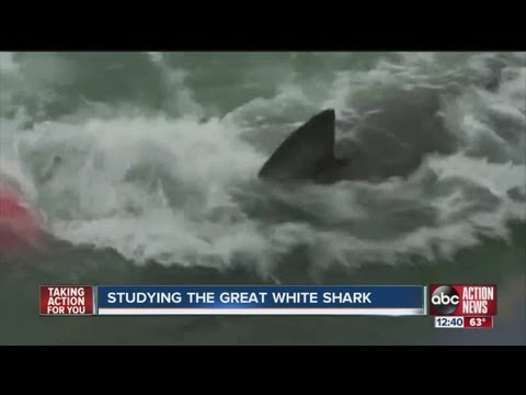 Scientists in Sarasota studying great white sharks