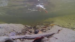 Underwater Dive Of A Duck - Free Stock Creative Commons Video