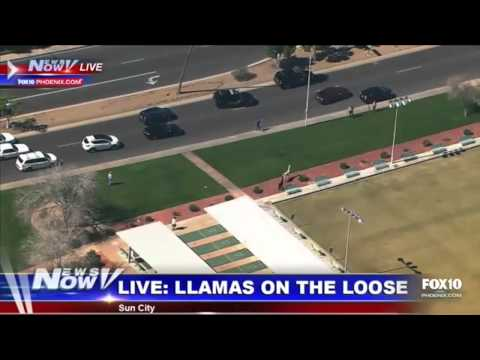 PARTNERS IN CRIME: The Bonnie And Clyde Of Llamas Lead Arizona Police On An Entertaining Chase!