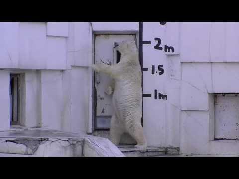 ホッキョクグマ ララ 産室に入る前日(円山動物園)
