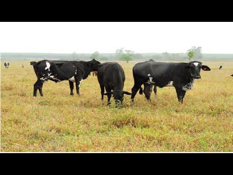 Clique e veja o vídeo Curso Gado de Leite a Pasto - Estratégias para Alimentação na Seca
